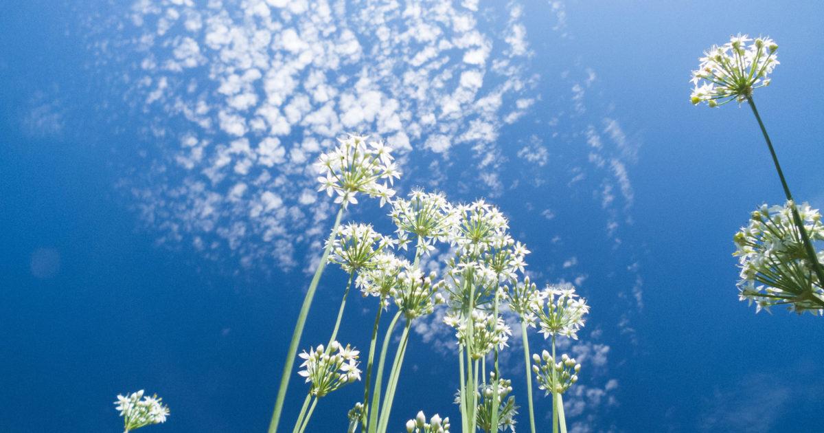 青空に真っ直ぐ伸びるニラの花
