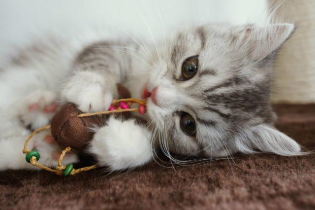 スコティッシュフォールド子猫1