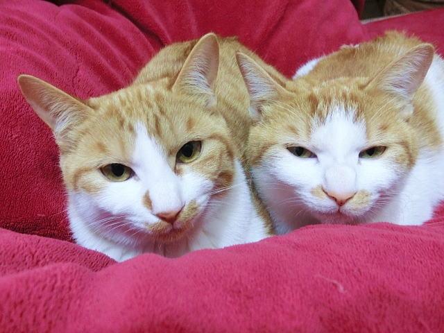 瓜二つのネコ